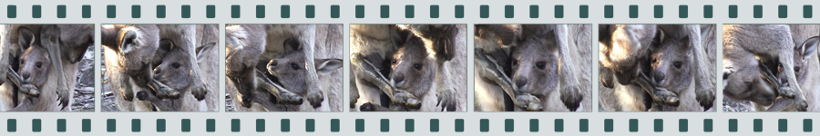 Collage of Kangaroos